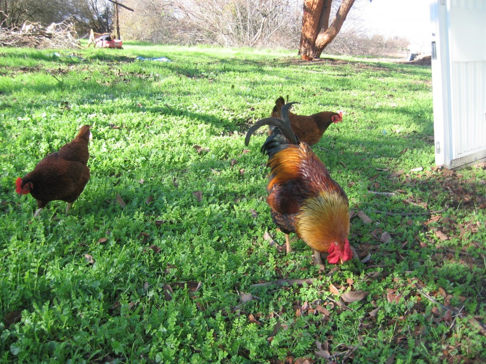 Happy chickens pasture in the sunshine green field all day.